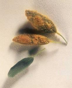 Salvia Alla Milanese