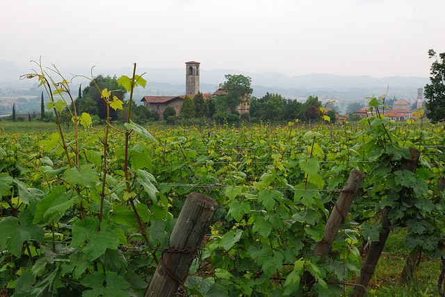 A vineyard if Franciacorta