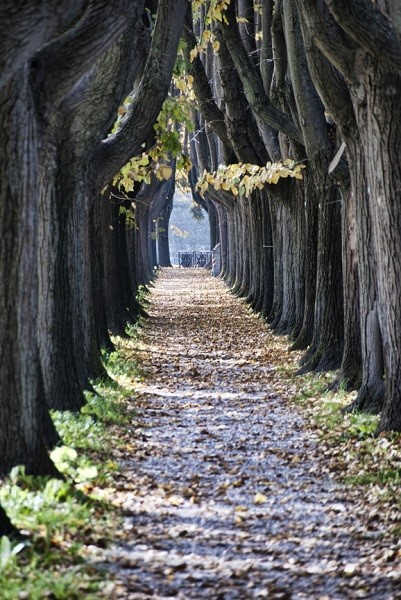 Trees alley outside the walls in Lucca