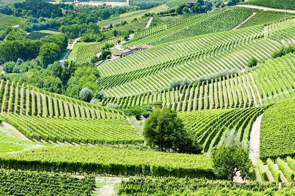Vineyards near Barbaresco, Piedmont, a region that produces a powerful Italian Red Wine