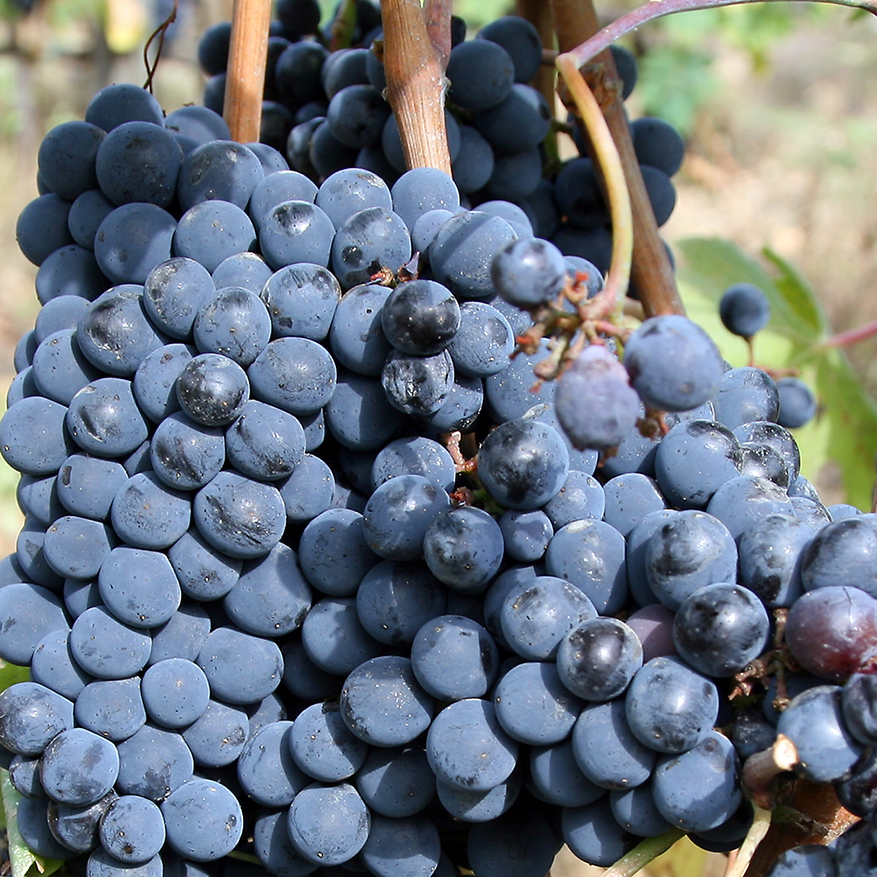 Sangiovese grape for Chianti wine