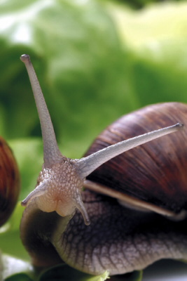 snails love red wine