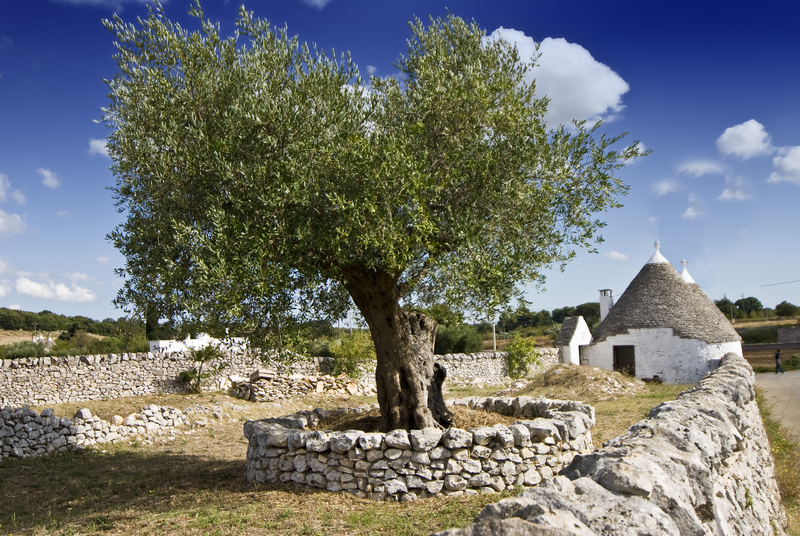 olive tree in Puglia: when in this region you should buy olive oil
