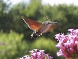 Italian Hawk Moths