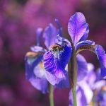 Irises in Italian Gardens