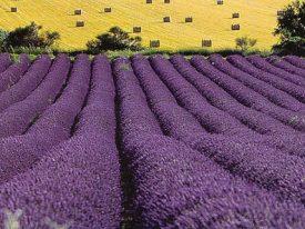 Lavender in Italy