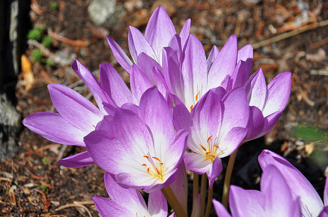 Naked lady's flowers: you can see how this crocus lacks the characteristic long, red stamens of the saffron