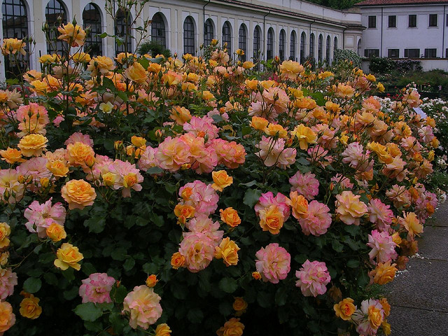 Italy in May is the time of roses