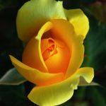 How to Prune Italian Roses