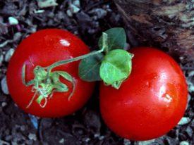 The Precious Tomato