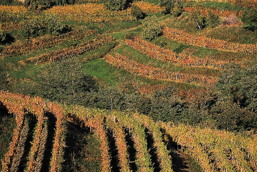 Vineyards in the Carso area of Friuli Venezia Giulia